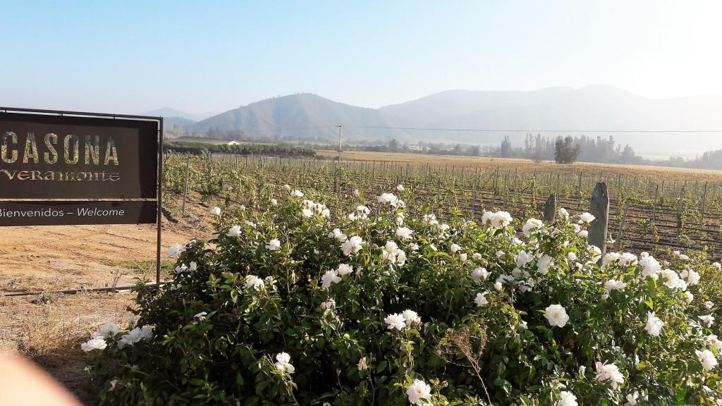 Entrada da Veramonte: lindas rosas brancas