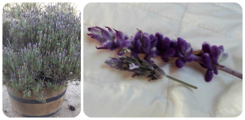 A diferença entre alfazema e lavanda aprendi na Veramonte; o Cláudio me explicou. Na primeira foto, um vaso de lavanda. Na segunda, a pequena é a lavanda; a grande é a alfazema. Quando friccionamos, é possível notar que os aromas são bem diferentes.